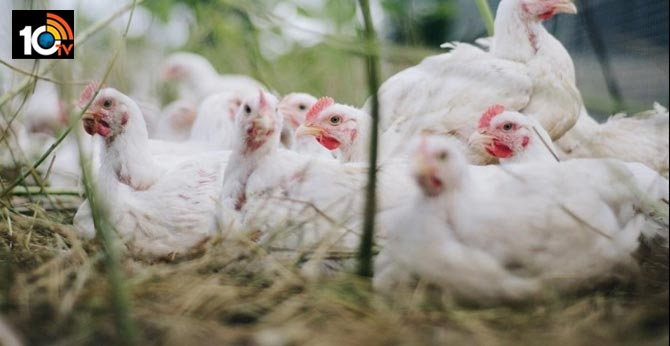 13,000 chickens to be culled In Kerala