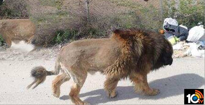 Bushy dog mistaken for a lion in Spain, this is how Twitter reacted