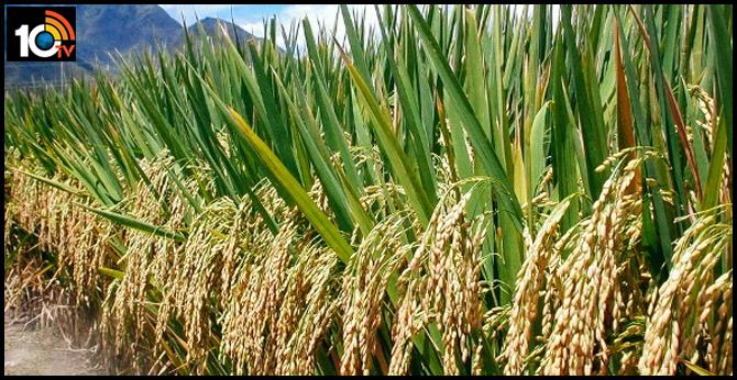 Paddy crop production increasing in Telangana
