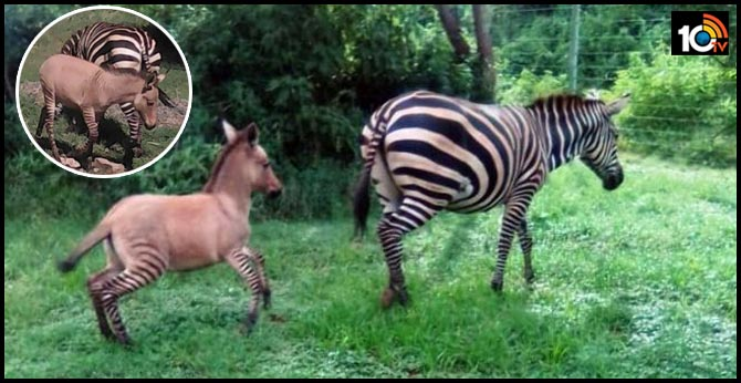 In Africa, A Zebra Had An Affair With A Donkey And Gave Birth To A Zonkey!