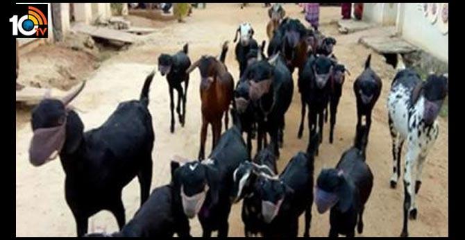 farmer wears corona masks for goats