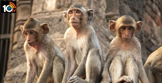Ayodhya monkeys angry with hunger amid lockdown, Attacking Humans