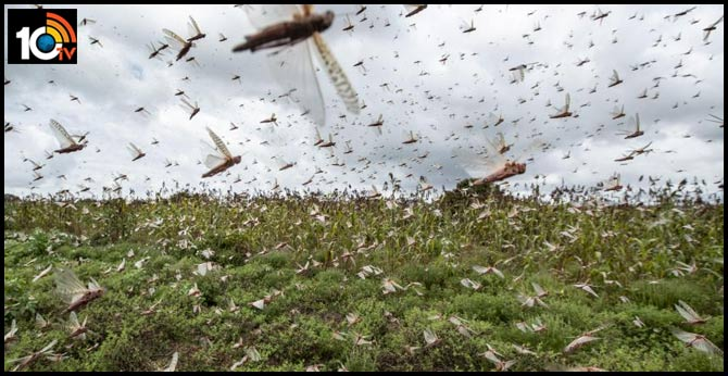 Another threat to the Telugu states Beware of Locusts