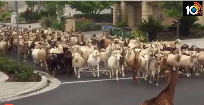 Grazing hell: 200 escaped goats hoof it through California neighborhood