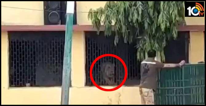Lockdown effect: Lion at school premises in Gir Somnath