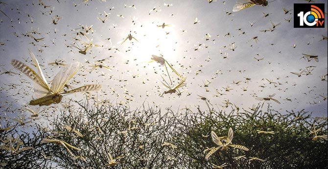Locusts A Threat To Flights When Landing Or Taking Off, Says Regulator