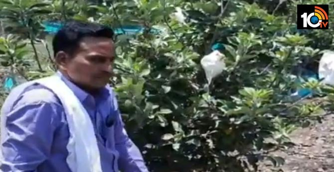 Apple Crop In Telangana