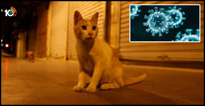 corona cats can infect cats with covid without symptoms unpacking a new study