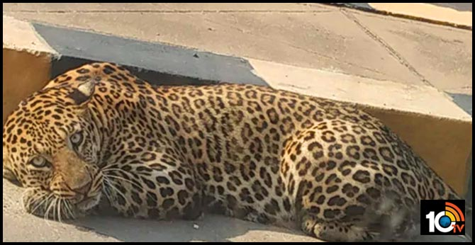 operation chirutha, plan b to caught leopard