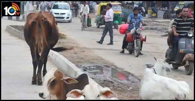 Miscreants kidnap pregnant cows in Mumbai by stuffing them in Innova, police register FIR