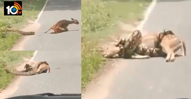 man intervenes tries to save deer about to be eaten by snake