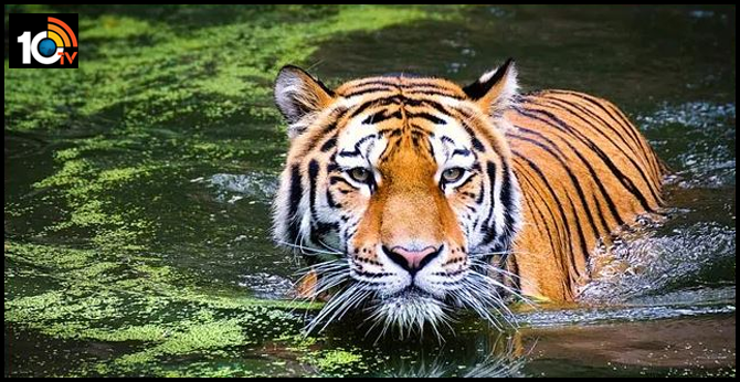 RTI Application Reveals India Lost 750 Tigers In Last 8 Years