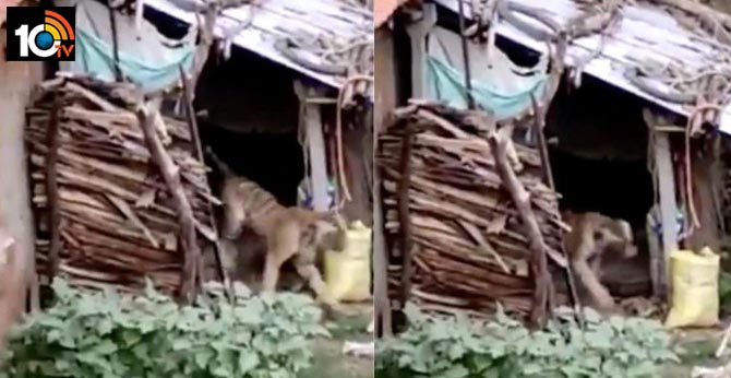 Chilling video of a scared tiger running away from humans goes viral