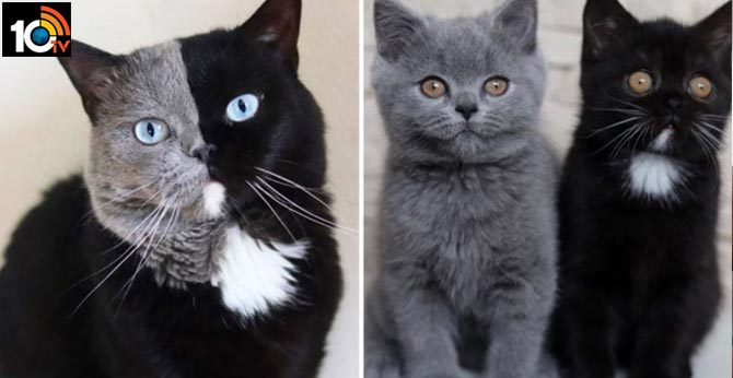 Narnia the two faced cat fathers kittens that match his two faces cute cats