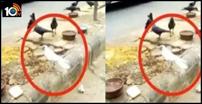 వావ్.. వైట్ కావ్ : ఢిల్లీలో 'తెల్ల కాకి' చక్కర్లు : వైరల్ వీడియో