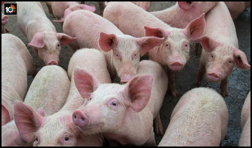 assam-to-cull-12000-pigs-as-african-swine-fever-spreads-2