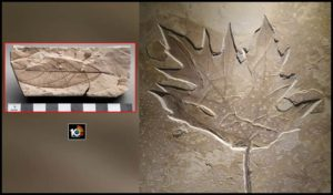 fossilised-leaves-about-150-200-million-years