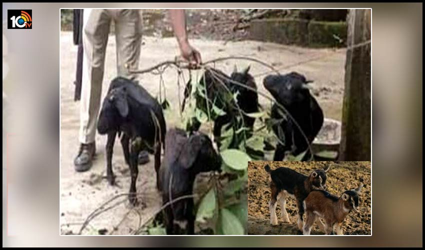 ఏందీ మాకీ తిప్పలు : పోలీస్ స్టేషన్ లో మేకల్ని పెంచుతున్న పోలీసులు