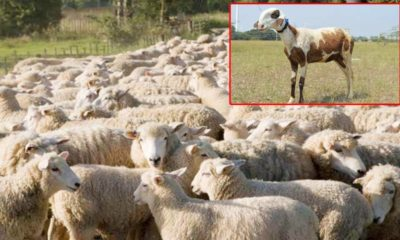 Maharashtra's Madgyal Sheep Gets Offer Of ₹ 70 Lakh