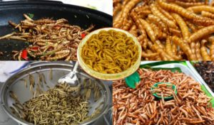Insect Diet _ These Mealworms Snack Can consume