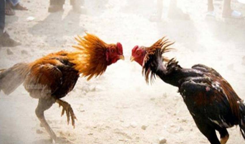 Chicken races are banned in West Godavari