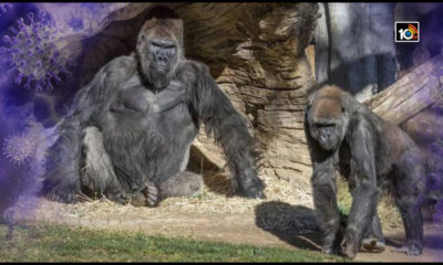us-san-diego-safari-zoo-8-gorillas-test-positive-for-corona