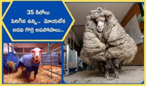 Baarack Wild sheep rescued in Australia shorn of 35 kg fleece