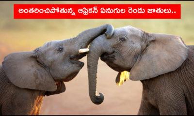 African Elephant Species