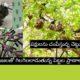 Bird Catcher Tree Pisonia