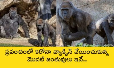 Covid Vaccination at animals