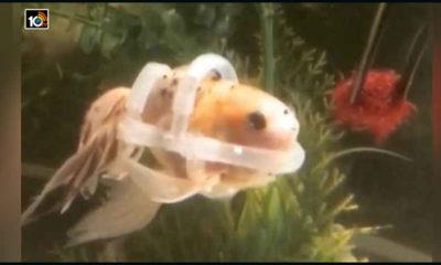 Goldfish Special Jacket