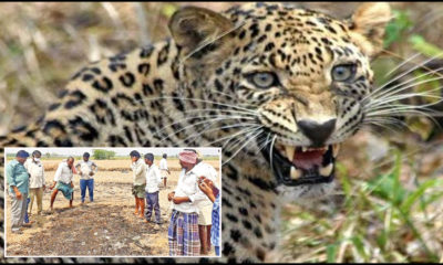 Tiger Fear Stalks Prakasam District Villages