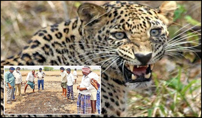 Tiger Fear Stalks Prakasam District Villages