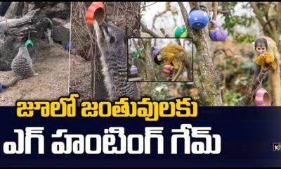 Easter Egg Hunt For Meerkats & Monkeys At London Zoo