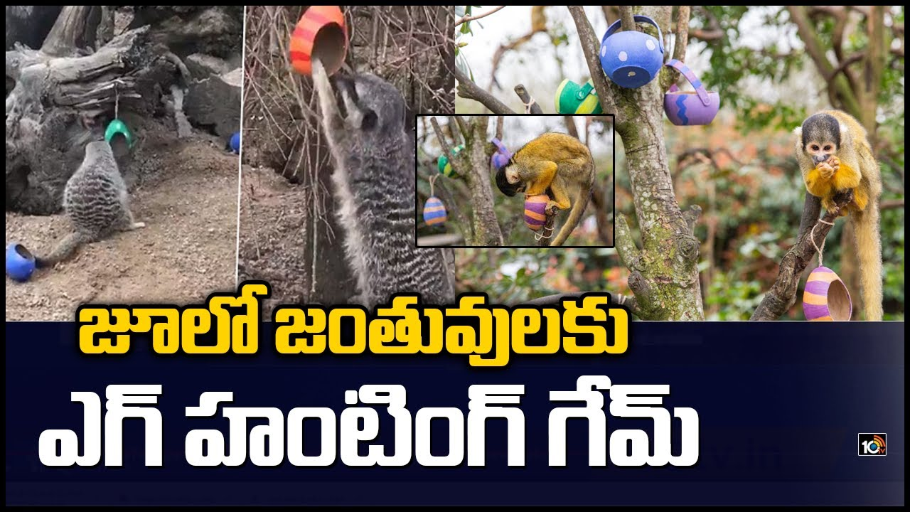 Easter Egg Hunt For Meerkats & Monkeys At London Zoo