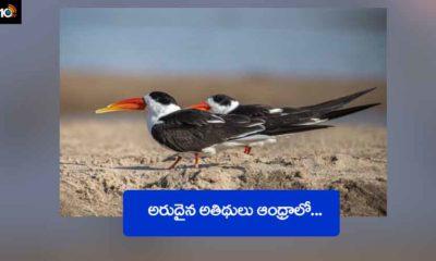 Indian Skimmer