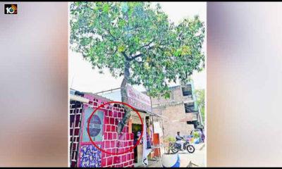 Mango Tree In Wall