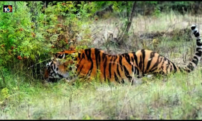Nallamala Forest Tigers