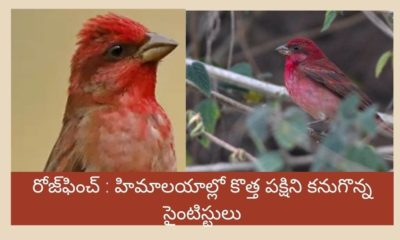 Rosefinch Bird Avian Species Count Reaches 1340 As New Bird Found In Himalayas