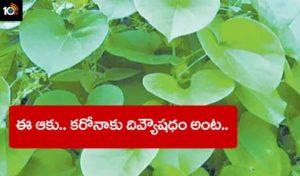 Tinospora Cordifolia
