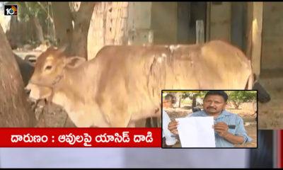 Acid Attack On Cows At Rajamahendravaram