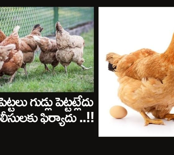 Poultry Farmer Chickens Complain That They Are Not Laying Eggs