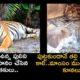 Pregnant Tigress Poached