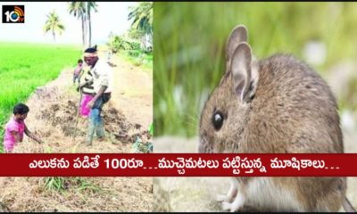 Rat Catching In Delta Area For Saving Crops
