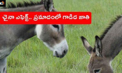 Chinese Donkey