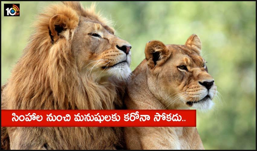 Corona For Lions