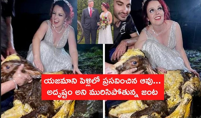Cow Giving Birth In Wedding
