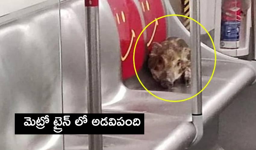 Wild Boar In Metro: మెట్రో ట్రైన్ లో అడవిపంది..దర్జాగా సీట్లో పడుకుని ప్రయాణం
