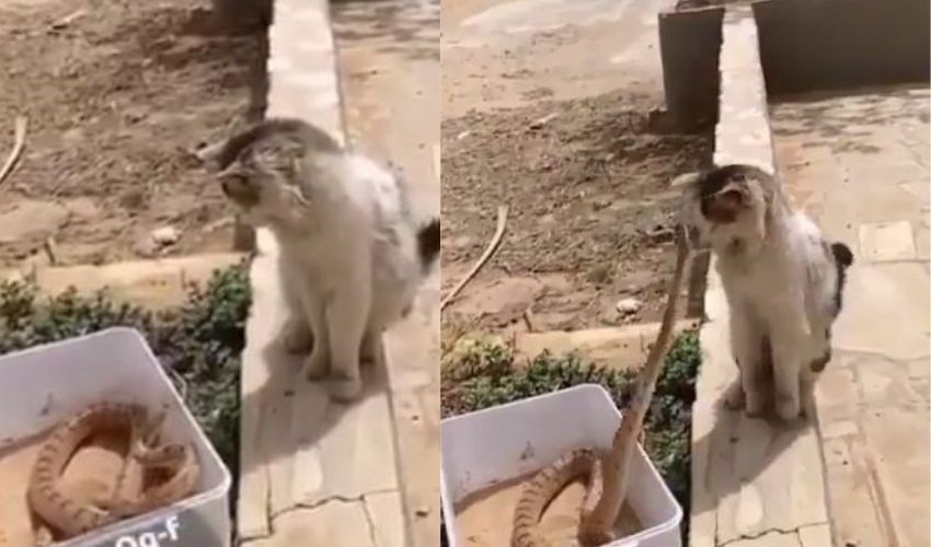 https://10tv.in/latest/the-cat-who-cleverly-escaped-the-snake-attack-the-video-that-went-viral-260658.html
