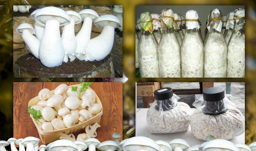 Mushroom Spawn : పుట్టగొడుగు స్పాన్ ఎలా తయారు చేస్తారో తెలుసా!